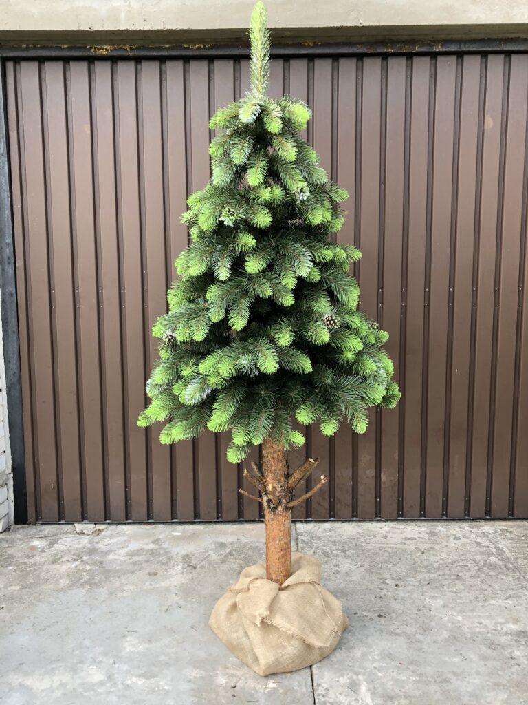 sosna zielona z szyszka na pniu